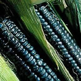 black corn